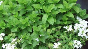 peppermint plant 300x169 - 8 Spider Repellent Plants for your Home
