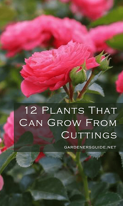 photoshop2 1 - 12 Plants You Can Easily Clone From Cuttings