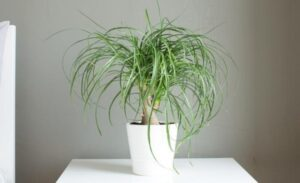 ponytail palms 300x183 - 10 Best Cat Friendly Houseplants For Your Home