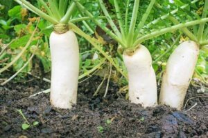 radish 300x200 - Plant These 15 Delicious Vegetables That Can Grow Without Full Sun