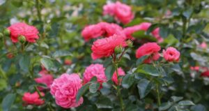 rose 300x159 - 12 Plants You Can Easily Clone From Cuttings