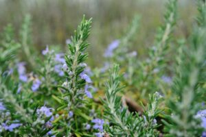 rosemary 300x200 - 12 Plants You Can Easily Clone From Cuttings