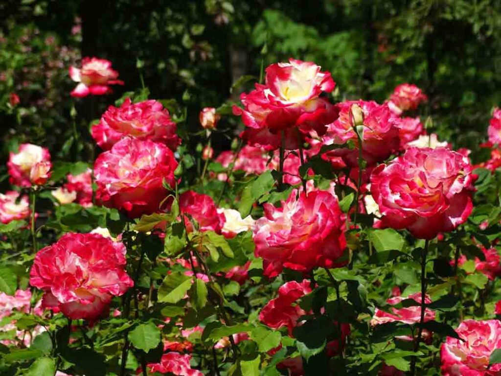 roses-plants-that-can-grow-from-cuttings