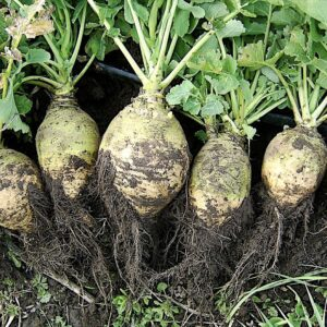 rutabaga 300x300 - Plant These 15 Delicious Vegetables That Can Grow Without Full Sun