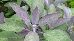 sage 300x169 - 12 Plants You Can Easily Clone From Cuttings
