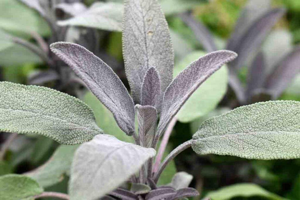 sage_plants-that-can-grow-from-cuttings