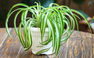 spider plant 300x188 - Best 10 Houseplants When You Have Cats in Your Home