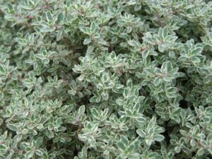 thyme planting growing 300x225 - 12 Plants You Can Easily Clone From Cuttings