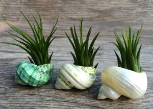 tillandsia air plants 300x214 - Best 10 Houseplants When You Have Cats in Your Home