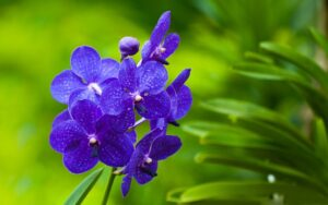 vanda orchid 300x188 - 20 Best Varieties of Orchids for Indoors