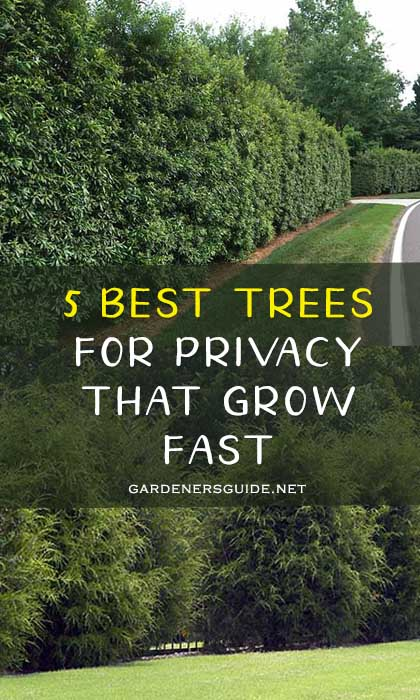 5 Best Trees For Privacy That Grow Fast
