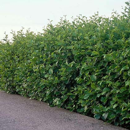 Alder Hedge - 10 Fast Growing Hedges For Privacy