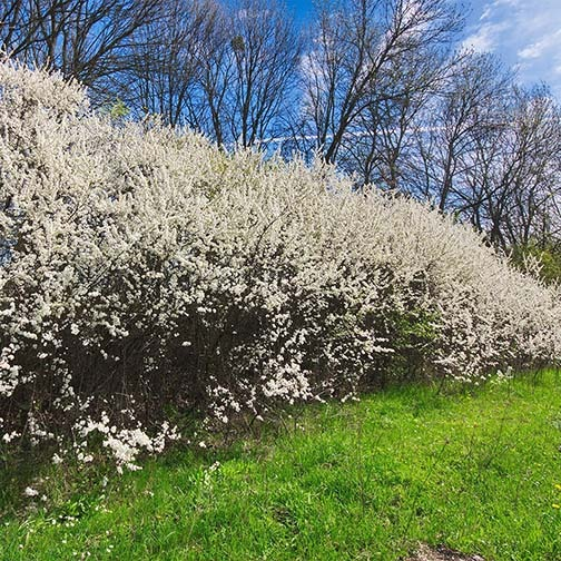Blackthorn hedges - 10 Fast Growing Hedges For Privacy
