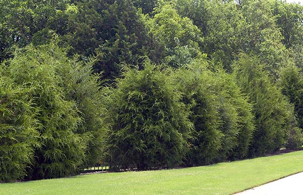 Eastern Redcedar - 5 Best Trees For Privacy That Grow Fast
