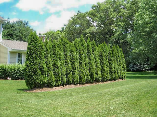 Emerald Green Thuja - 5 Best Trees For Privacy That Grow Fast