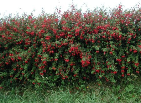 Fuchsia magellanica hedge - 10 Fast Growing Hedges For Privacy