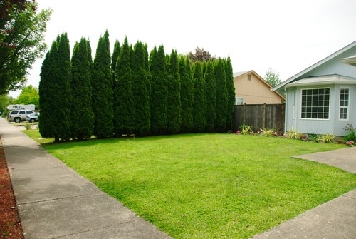 Green Giant Thuja - 5 Best Trees For Privacy That Grow Fast