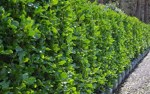Griselinia Littoralis hedges - 10 Fast Growing Hedges For Privacy