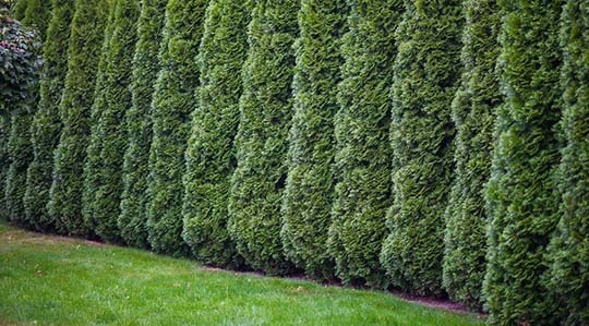Leyland Cypress - 5 Best Trees For Privacy That Grow Fast