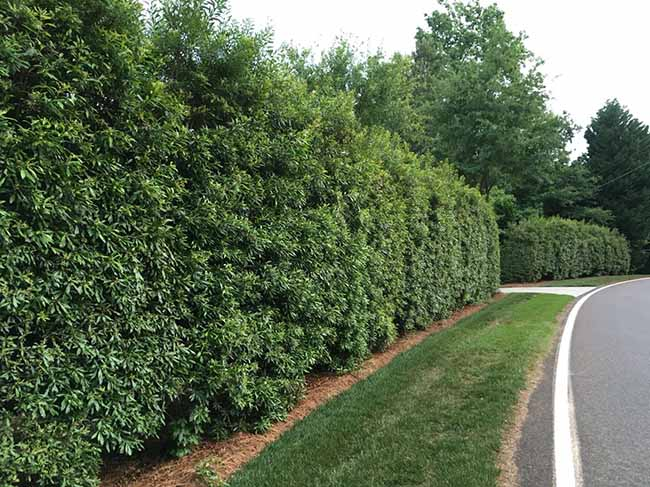 Wax Myrtle - 5 Best Trees For Privacy That Grow Fast