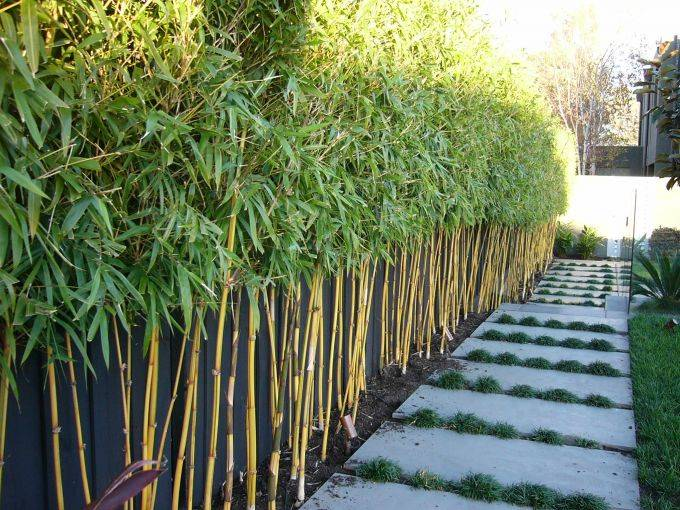bamboo hedges - 10 Fast Growing Hedges For Privacy