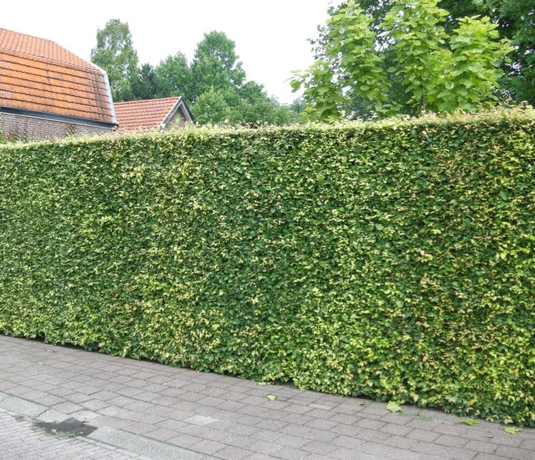10 Fast Growing Hedges For Privacy