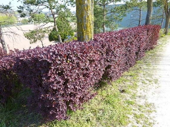 berberis ottawensis hedge - 10 Fast Growing Hedges For Privacy