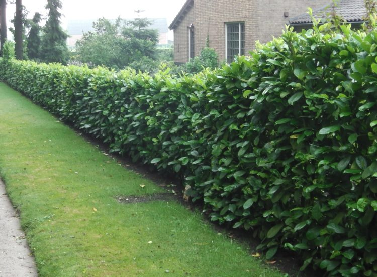 cherry laurel hedges - 10 Fast Growing Hedges For Privacy