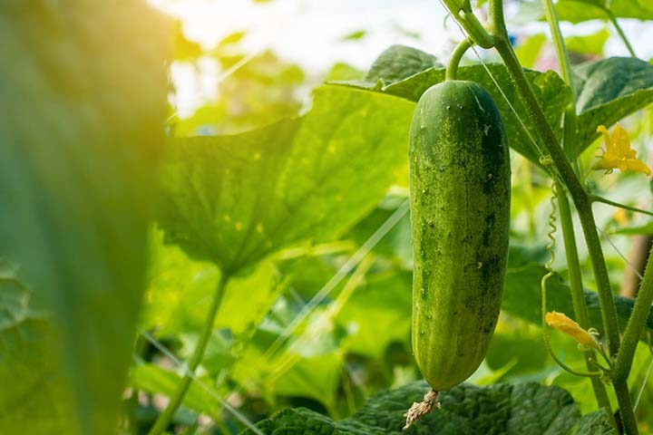 cucumbers 2 - 14 Fruits And Vegetables To Grow For Your Small Garden