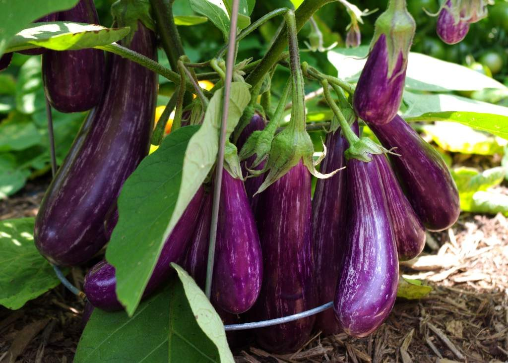 eggplant 1024x732 - 14 Fruits And Vegetables To Grow For Your Small Garden