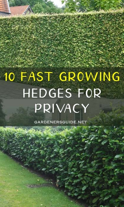 fast growing hedges - 10 Fast Growing Hedges For Privacy