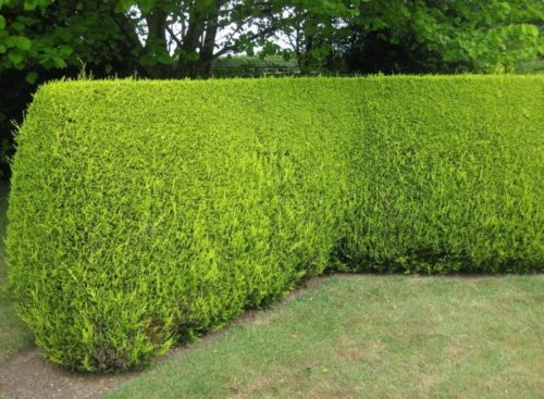 golden leylandii hedges - 10 Fast Growing Hedges For Privacy