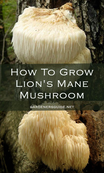 how to grow lions mane mushroom - How To Grow Lion's Mane Mushroom