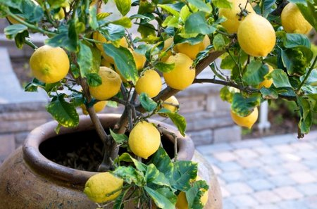lemon tree - 14 Fruits And Vegetables To Grow For Your Small Garden