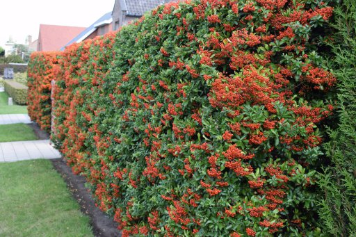 pyracantha hedges - 10 Fast Growing Hedges For Privacy