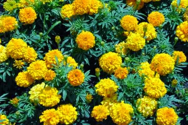 marigold plants that repel snakes wallpaper - Best Plants That Repel Snakes