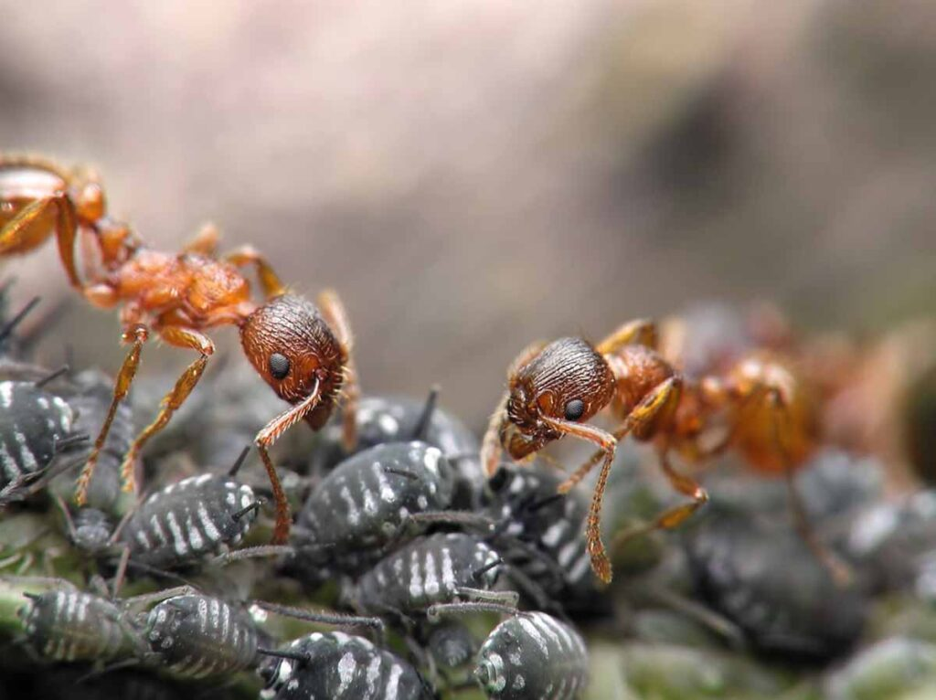 ants and aphids symbiotic relationship 1024x766 - How To Control Aphids on Succulents