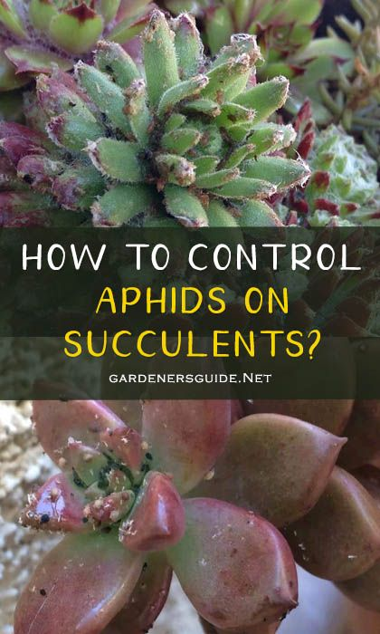 how to control aphids on succulents - How To Control Aphids on Succulents