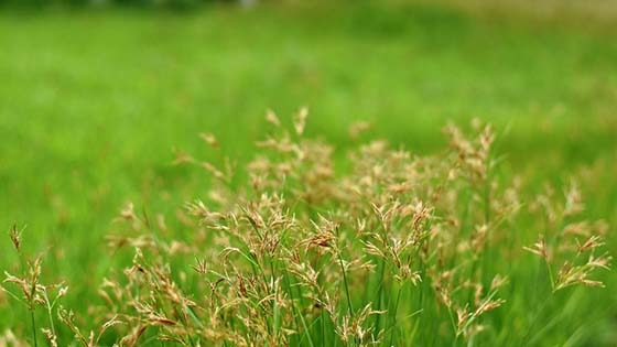 nutsedge picture - How To Get Rid Of Nutsedge Weeds In Your Lawn