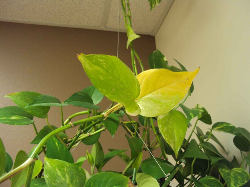 yellow leaves on pothos 1024x768 - What To Do If Pothos Leaves Turning Yellow