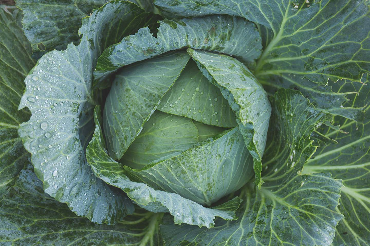how-to-grow-cabbage-in-your-garden