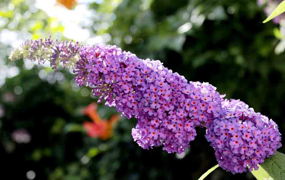 Butterfly-Bush-plants-that-attract-butterflies