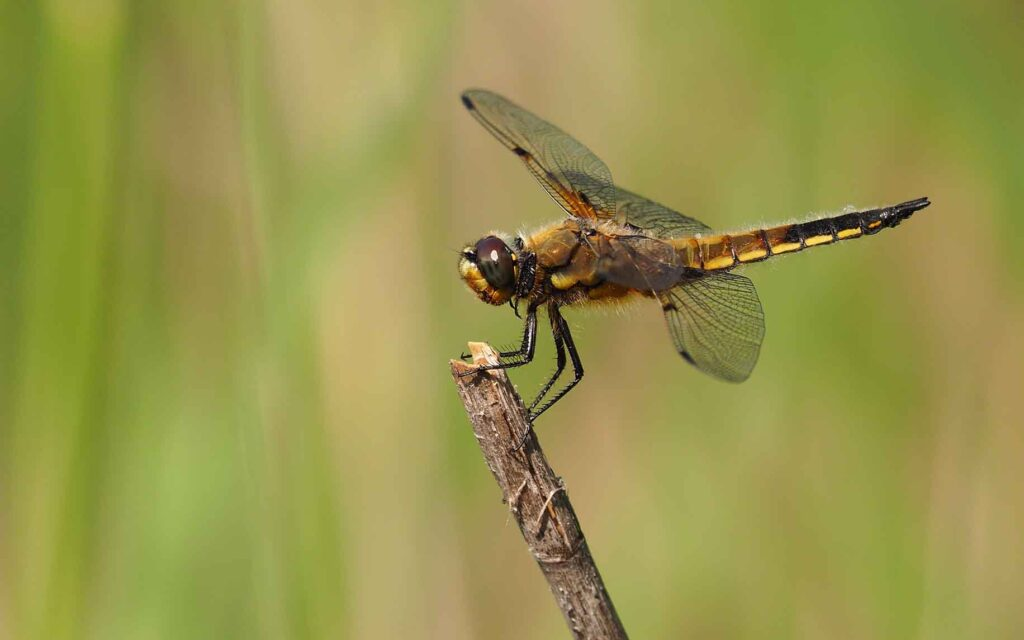 how-to-attract-dragonflies-in-your-garden-for-mosquito-control