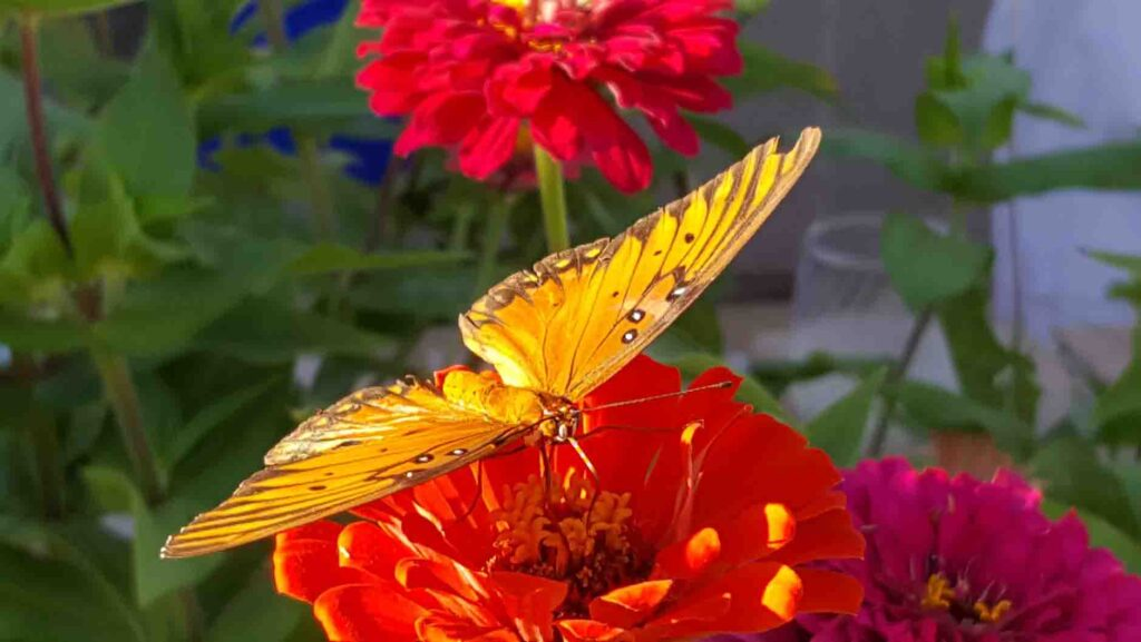 zinnia-plants-that-attract-butterflies